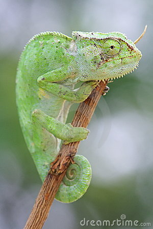 Motionless green chameleon