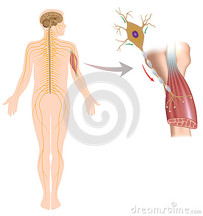 Free Motor Neuron Controls Muscle Movement Stock Image - 28845041