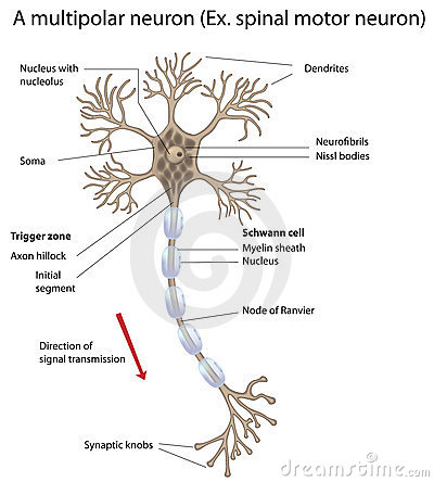 Motor neuron, detailed and accurate, labeled vers.