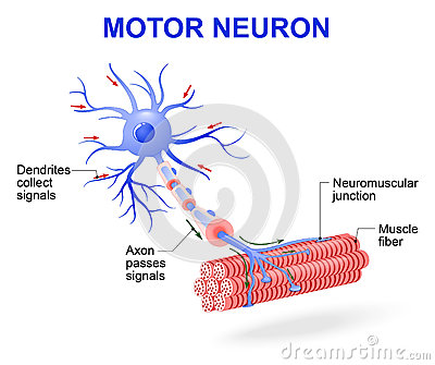Motor Neuron Vector Diagram Stock Vector Image 71767081