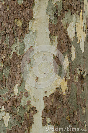 Free Mottled Sycamore Tree Bark And Trunk Background Or Texture, Close-up Royalty Free Stock Image - 77850796