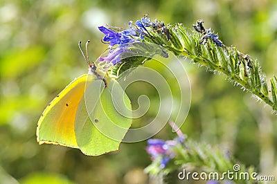 Motyli Cleopatra karmienia kwiat
