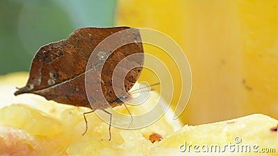 motyli nieżywy liść zbiory