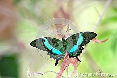 Motyli szmaragdowy pawi swallowtail