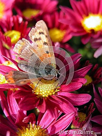 Motyliego czerwony kwiat