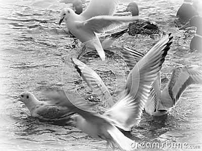 Mouette de vol en noir et blanc