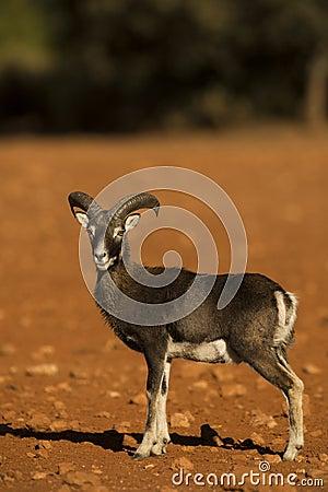 Free Mouflon Royalty Free Stock Images - 52676649