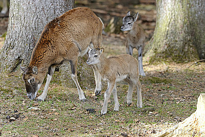 Mouflon, ovis aries