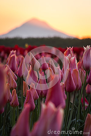 Free Mount Hood From The Tulip Far Royalty Free Stock Image - 40813896