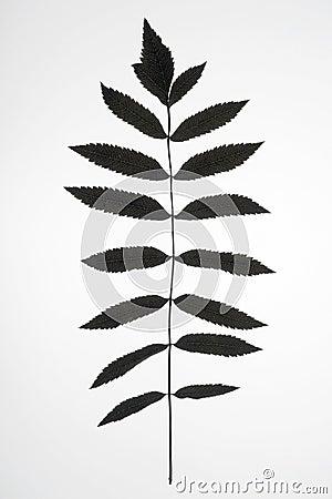 Mountain ash branch