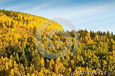 Mountain of Aspen Trees in Autumn