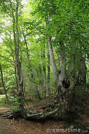Free Mountain Beech Forest Royalty Free Stock Photography - 13619607