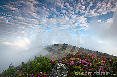 Mountain Bloom Catawba Rhododendron Roan Highlands