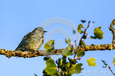 Mountain Bluebird Stock Photo