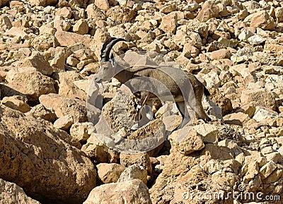 Mountain chamois among rocks