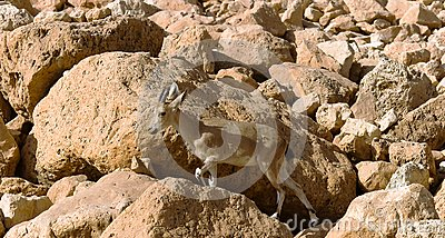 Mountain chamois among rocks