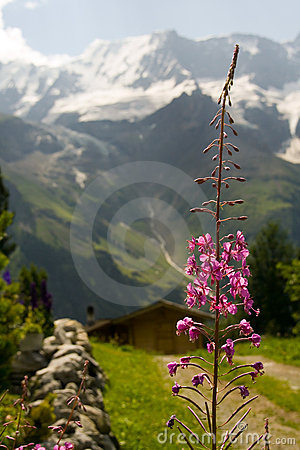 Free Mountain Flower Royalty Free Stock Photo - 1257365