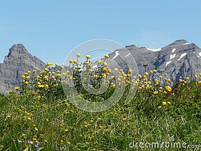 Mountain flowers in a mountain landscape switzerla
