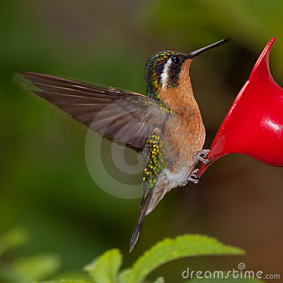 Mountain-gem hummingbird from Costa Rica at feeder