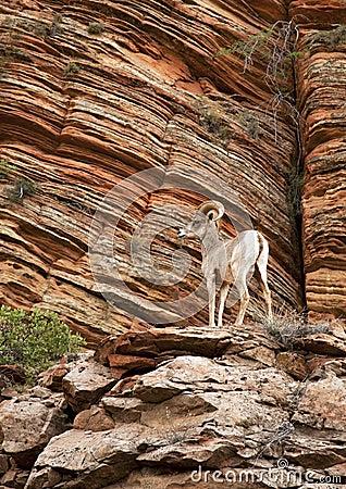 Free Mountain Goat Royalty Free Stock Photo - 24636205