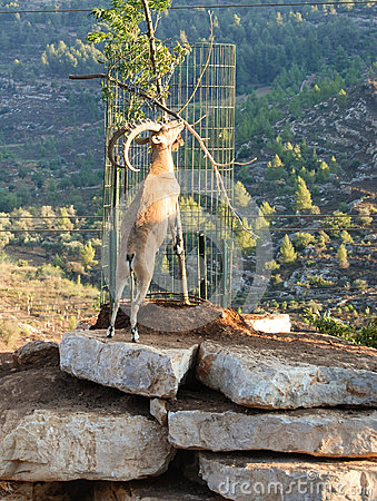 Free Mountain Goat Royalty Free Stock Photos - 25477148