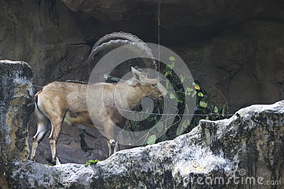 Mountain Goat eating grass