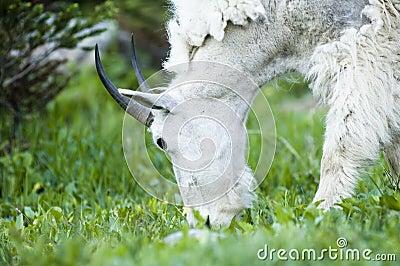 Mountain Goat foraging