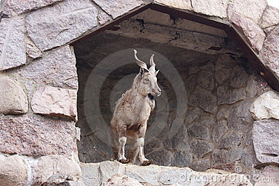 A mountain goat is in the Moscow zoo