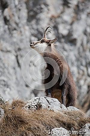 Mountain goat in natural habitat