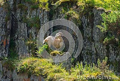 Mountain goat