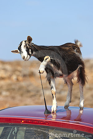 Free Mountain Goat On The Roof Of Car Royalty Free Stock Photography - 16428797