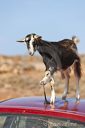Free Mountain Goat On The Roof Of Car Stock Photos - 16428803