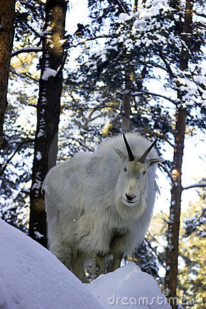 Free Mountain Goat On The Snowy Rock Stock Image - 1867701