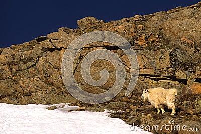 Mountain Goat in Rocks