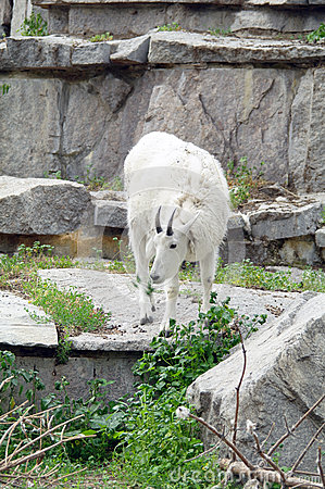 Mountain goat among the rocks and cliffs