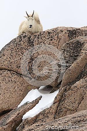 Mountain goat sitting on big rocks