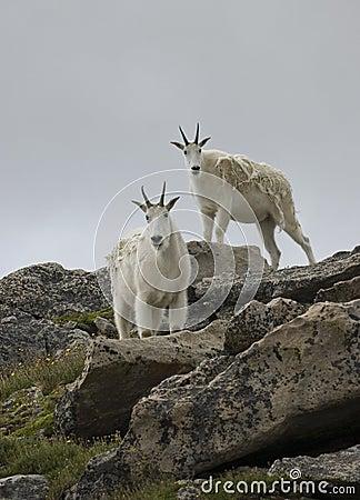 Free Mountain Goats Stock Image - 16712491