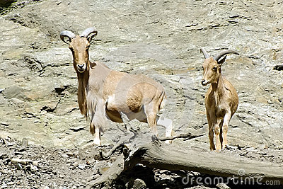Mountain Goats, friendly animals at the Prague Zoo.