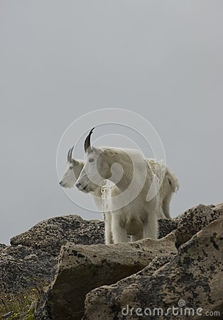 Mountain Goats Profile