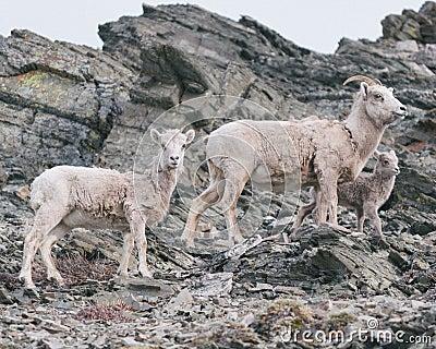 Mountain Goats On Rocky Slope Free Public Domain Cc0 Image