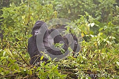 Mountain Gorilla s