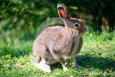 Mountain Hare (lat. Lepus timidus)