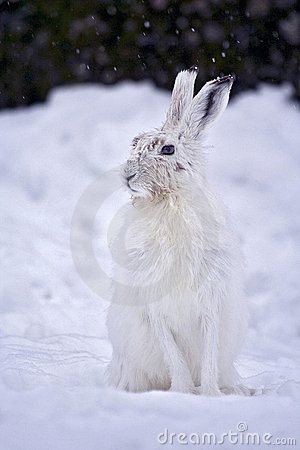 Free Mountain Hare, Lepre Variabile Stock Images - 5604904