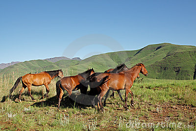 Mountain horses, South Africa