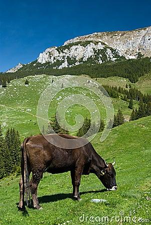 Free Mountain Husbandry In Romania Royalty Free Stock Photo - 9520105