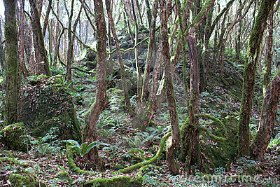 Mountain jungle (rhododendron forest)