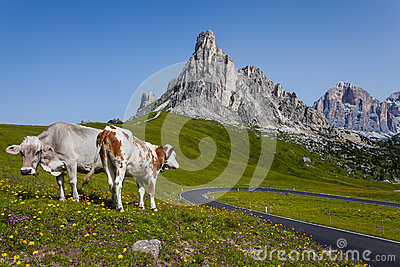Mountain landscape - Road and cows.