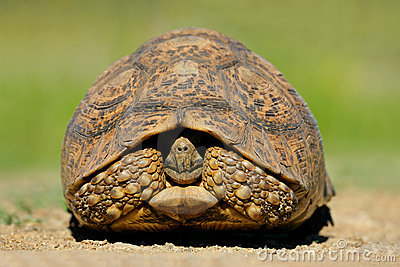 Mountain (leopard) tortoise, South Africa