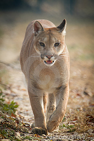 Free Mountain Lion Royalty Free Stock Photo - 22354185