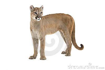 mountain lion royalty free stock image image 6220776 leopard clipart eating lunch leopard clip art free